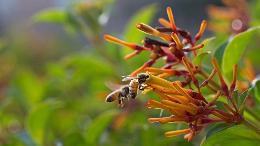 Honigbienen beim Nektarsammeln