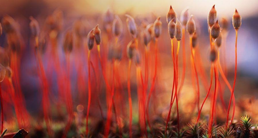 Sporen des Frauenhaarmooses – Peter Lilja/Getty Images ©