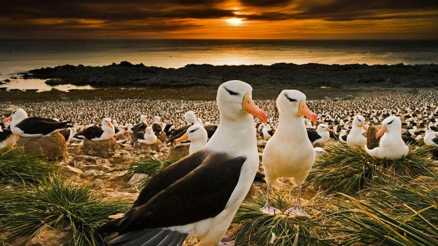 Schwarzbrauenalbatrosse kehren zu ihren Brutgebieten auf den Falklandinseln zurück