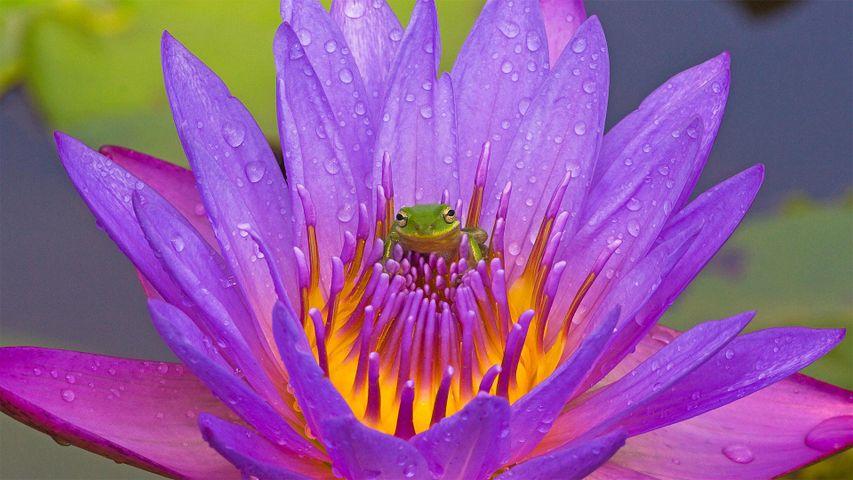 Korallenfinger-Laubfrosch und violette Seerose, Lake Kissimmee, Florida, USA