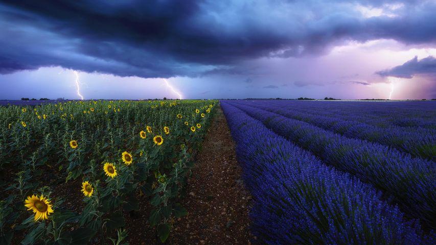 Gewitter über Lavendel- und Sonnenblumenfeldern in der Provence, Frankreich