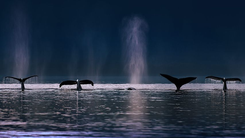 Buckelwale in der Stephens Passage nahe Admiralty Island, Alaska, USA