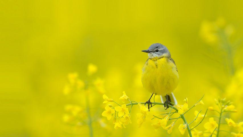 Schafstelze zwischen gelben Blumen, Hessen, Deutschland