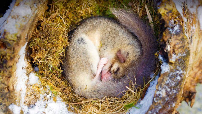 Schlafender Siebenschläfer, Elsass, Region Grand Est, Frankreich