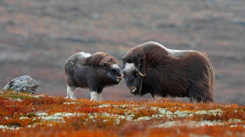 Moschusochse und Kalb im Dovrefjell-Sunndalsfjella-Nationalpark, Norwegen