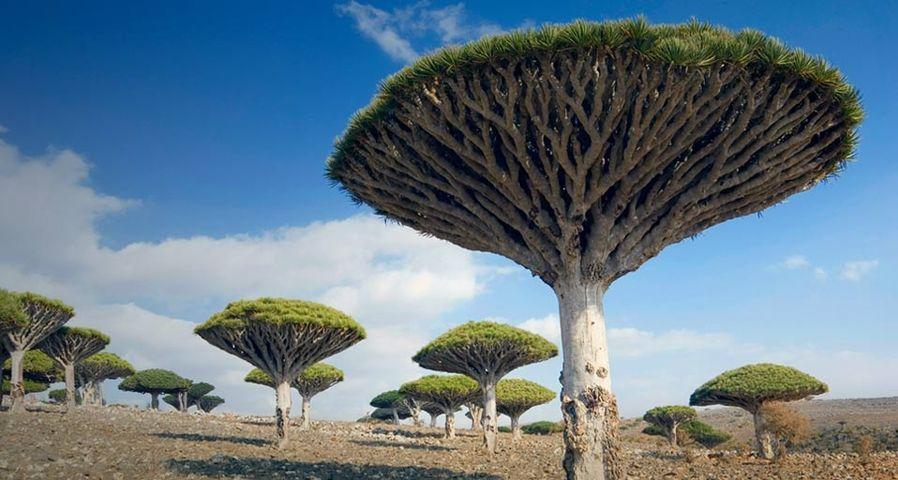Drachenbäume auf der Insel Sokotra, Jemen – Tony Waltham/Getty Images ©
