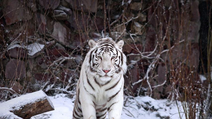 Weißer Tiger im Moskauer Zoo, Moskau, Russland