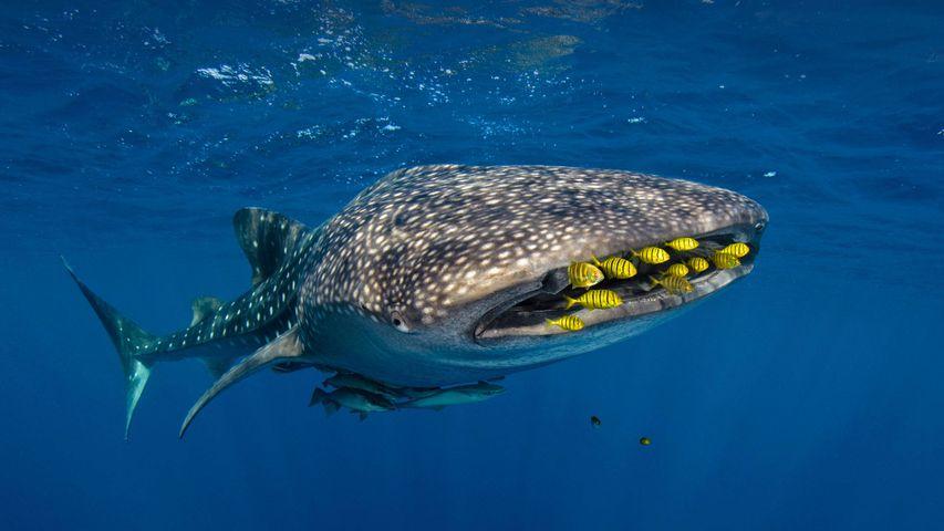 Walhai in Begleitung von Schwarzgoldenen Pilotmakrelen, Cenderawasih-Bucht, Indonesien