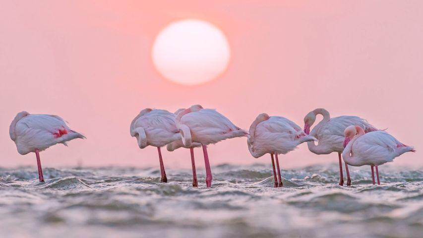 Rosaflamingos, Walvis Bay, Namibia