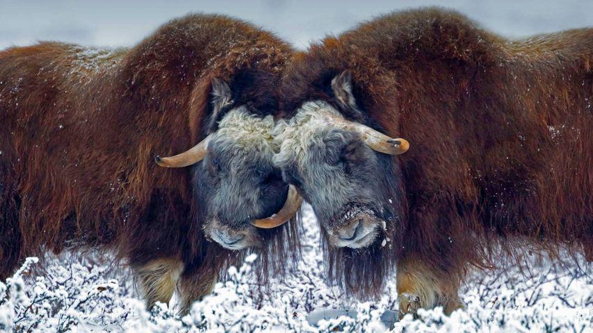 Moschusochsen nahe Prudhoe Bay, Alaska, USA