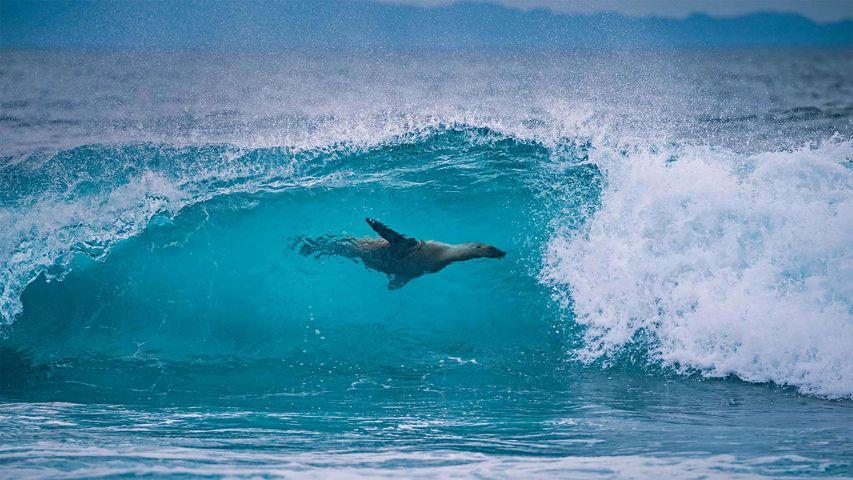 Galapagos-Seelöwe vor der Küste der Insel Fernandina, Galapagosinseln, Ecuador