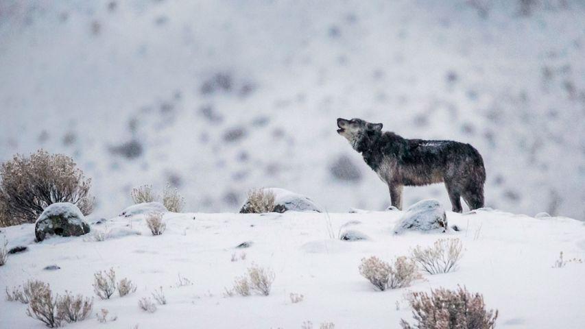 Ein Wolf im Yellowstone-Nationalpark, Wyoming, USA