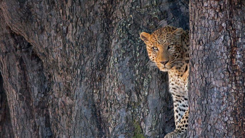 Leoparden-Männchen im Linyanti-Wildreservat, Botswana