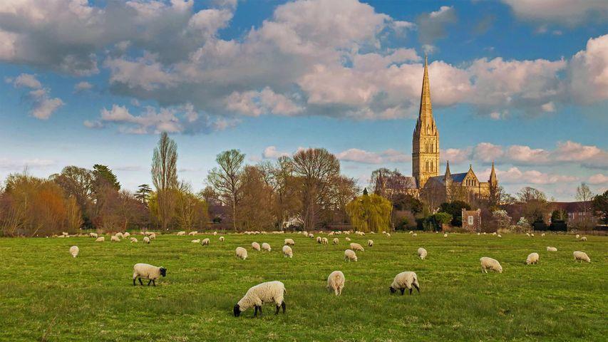 Grasende Schafherde vor der Kathedrale von Salisbury, England, Vereinigtes Königreich