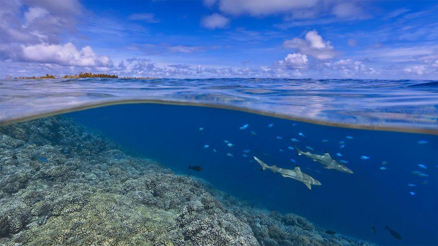 Schwarzspitzen-Riffhaie vor der Küste von Tahiti, Französisch-Polynesien