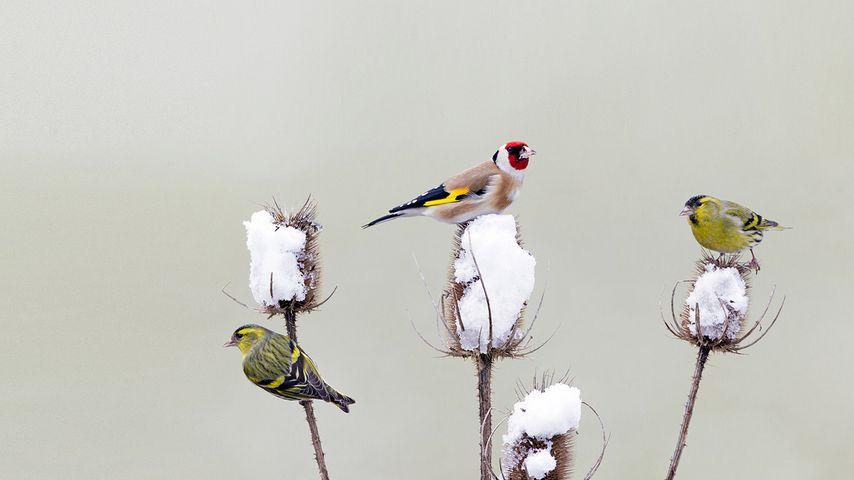 Stieglitz und Erlenzeisige bei der winterlichen Futtersuche auf den Blütenständen einer Distel, Deutschland