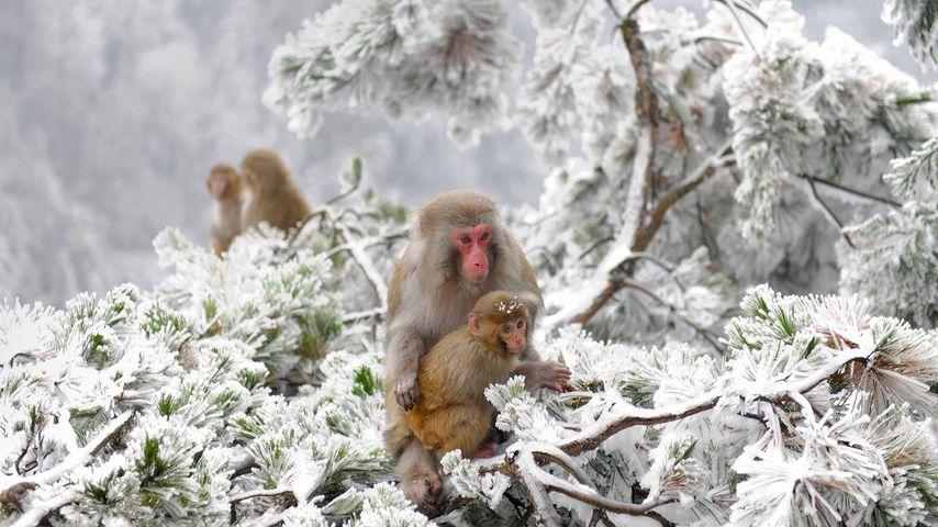 Rhesusaffen im Landschaftspark Wulingyuan nahe Zhangjiajie, Provinz Hunan, China