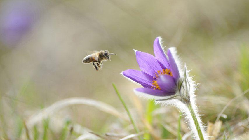Honigbiene im Anflug auf die Blüte einer Gewöhnlichen Kuhschelle (Pulsatilla vulgaris), Oberpfalz, Bayern, Deutschland