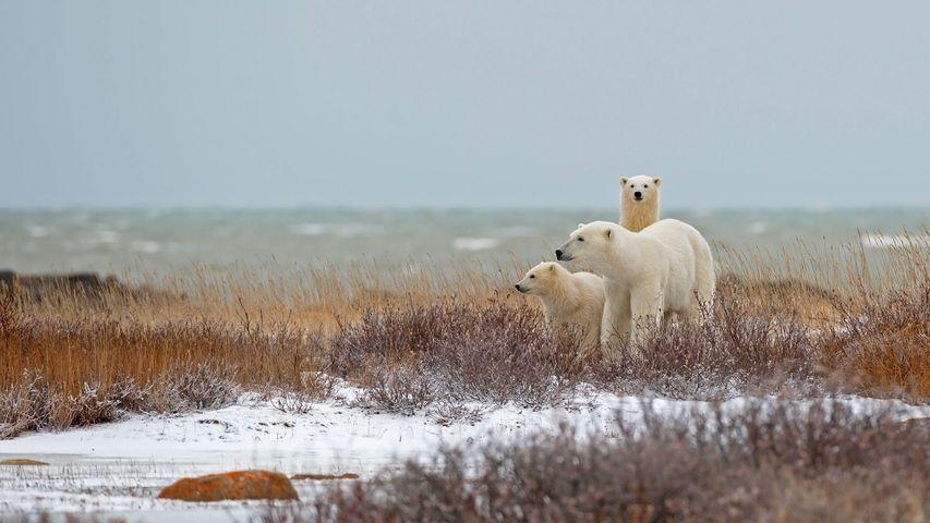 Eisbärenfamilie in der Nähe der Hudson Bay in Churchill, Manitoba, Kanada