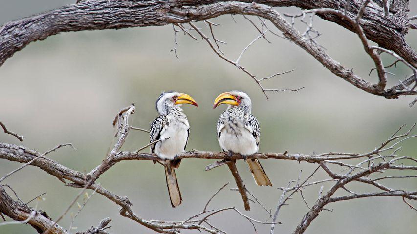 Südliche Gelbschnabeltokos im Kruger-Nationalpark, Südafrika