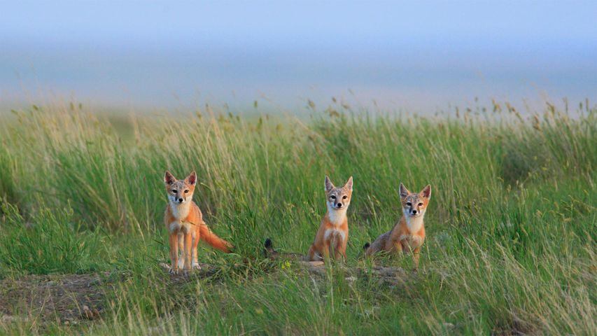 Junge Swiftfüchse im Grasslands-Nationalpark in der Nähe von Val Marie in Saskatchewan, Kanada
