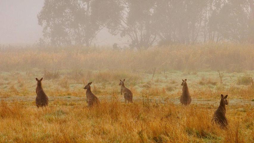 Östliche Graue Riesenkängurus im Kosciuszko-Nationalpark, Australien