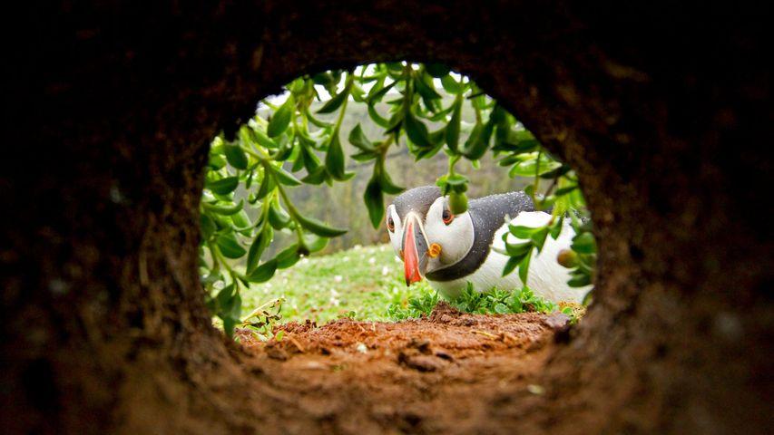 Papageitaucher beim Inspizieren einer Nesthöhle auf der Insel Skomer, Wales, Großbritannien