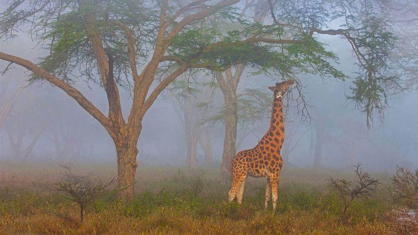 Rothschild-Giraffe im Lake-Nakuru-Nationalpark, Kenia