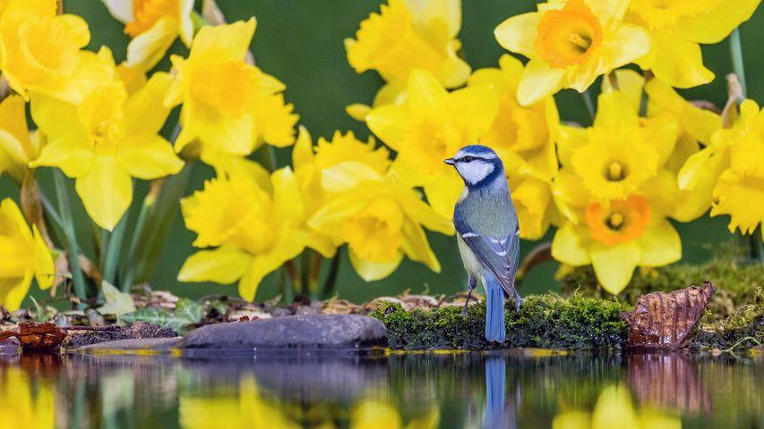 Eine Blaumeise zwischen Gelben Narzissen, Wales, Vereinigtes Königreich