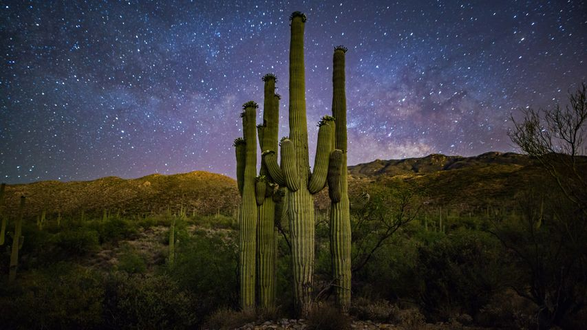 Saguaro-Kakteen und Milchstraße, Saguaro-Nationalpark, Arizona, USA