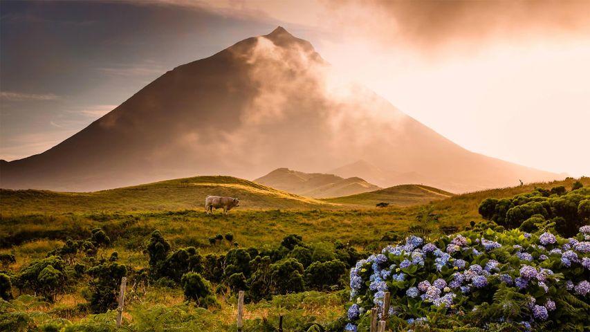 Ein Stier steht auf einem Feld unterhalb des Mount Pico, Insel Pico, Azoren