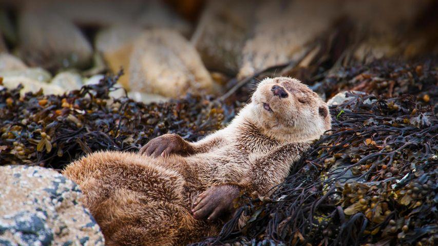 Entspannter Fischotter auf den Shetlandinseln, Schottland