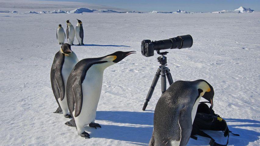 Eine Gruppe von neugierigen Kaiserpinguinen