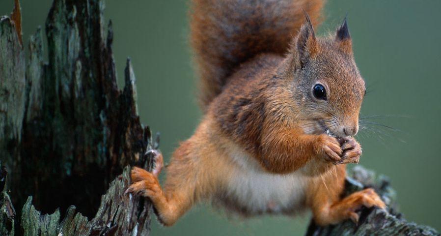 Ein rotes Eichhörnchen balanciert auf einem Baumstumpf, während es eine Nuss knackt, Nord-Trondelag, Norwegen – Niall Benvie/Corbis ©