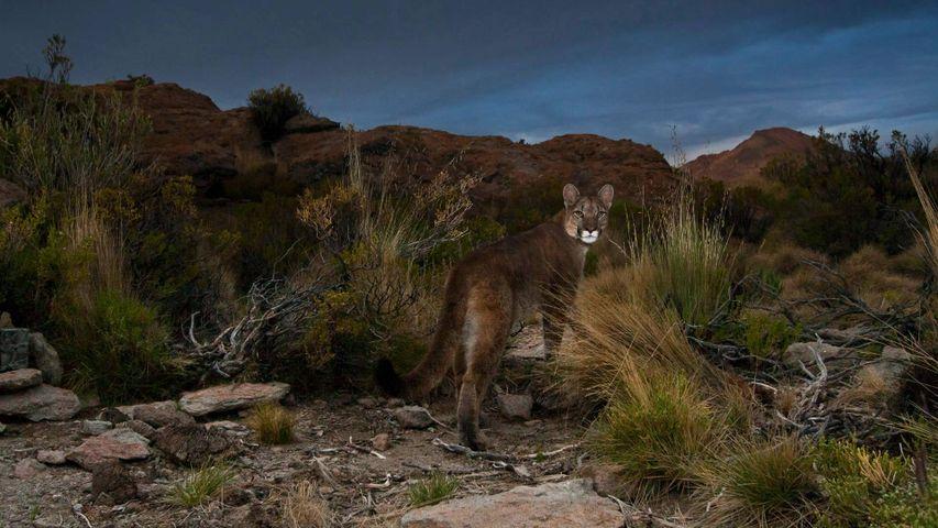 Ein Puma in den Anden, im Nordwesten Argentiniens