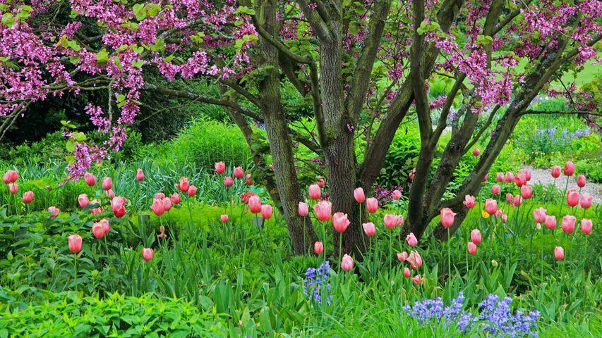 Judasbaum mit Tulpen und Atlantischen Hasenglöckchen, Deutschland