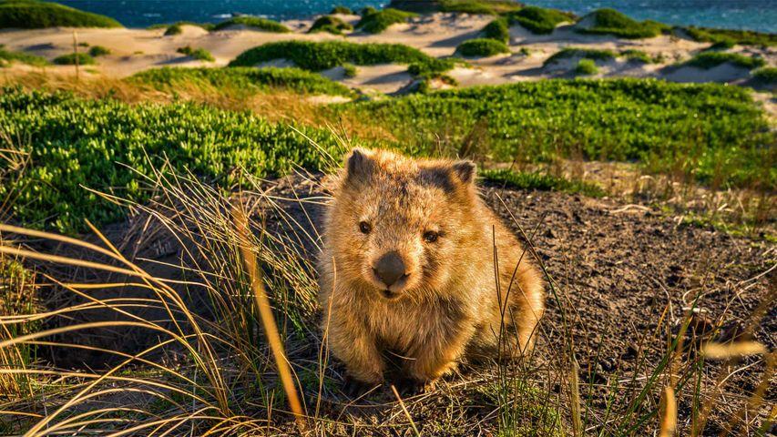 Nacktnasenwombat am Point Lesueur auf Maria Island, Tasmanien, Australien