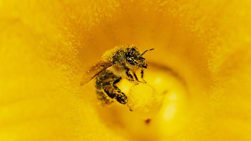 Eine mit Pollen bedeckte Honigbiene (Apis mellifera) in einer Kürbis-Blüte, Deutschland