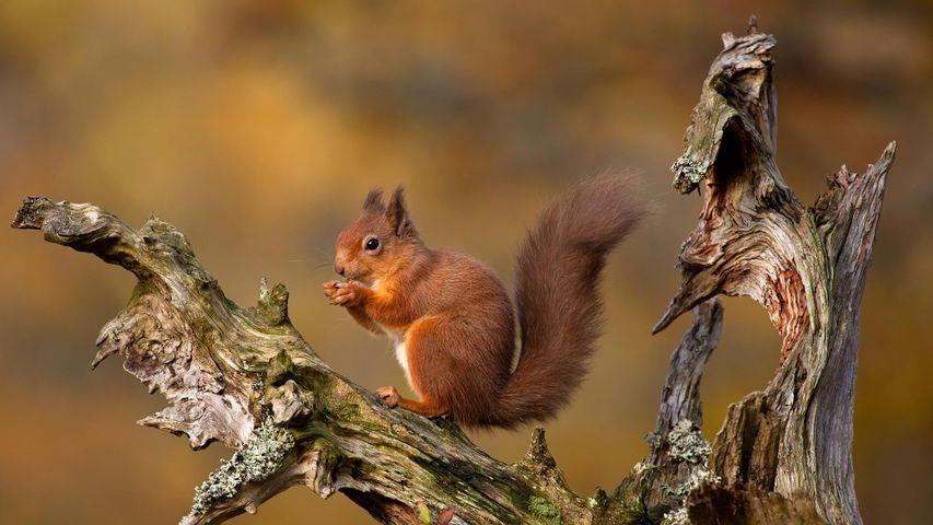 Eichhörnchen in den Cairngorm Mountains, Schottisches Hochland
