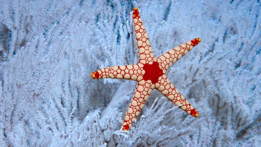 Ein Perl-Seestern auf einer Weichkoralle nahe den Seychellen