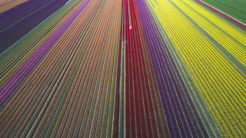 Luftaufnahme von Tulpenfeldern in Sachsen-Anhalt, Deutschland