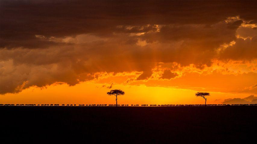 Wandernde Streifengnu-Herde im Sonnenuntergang, Masai Mara, Kenia