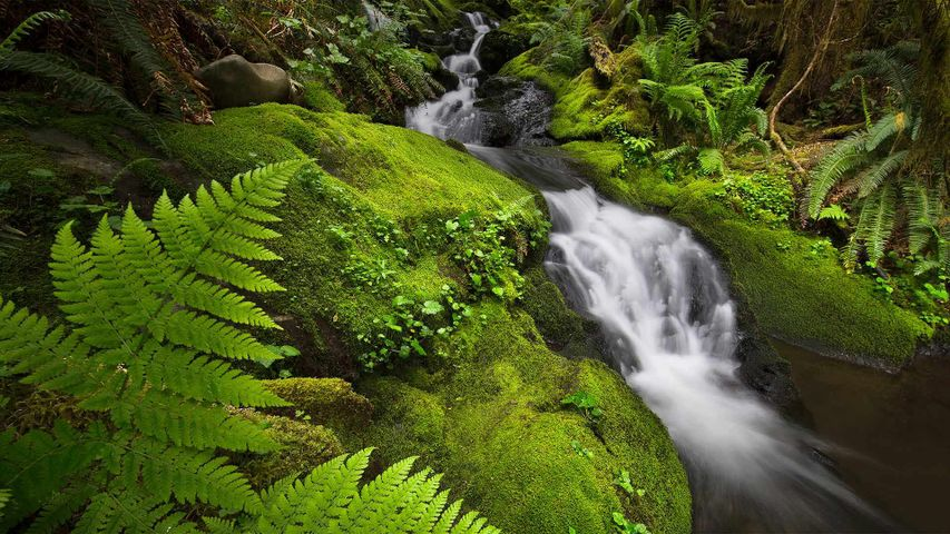 Quinault-Regenwald im Olympic-Nationalpark, Bundesstaat Washington, USA