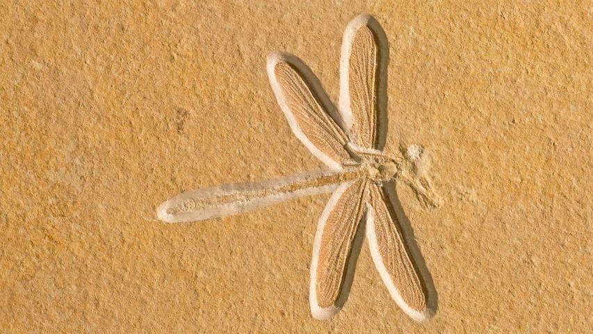 Fossil einer Libelle (etwa 150 Millionen Jahre alt), Solnhofen, Bayern