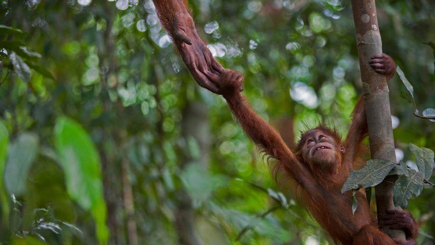 Ein junger Sumatra-Orang-Utan im Nationalpark Gunung Leuser, Indonesien