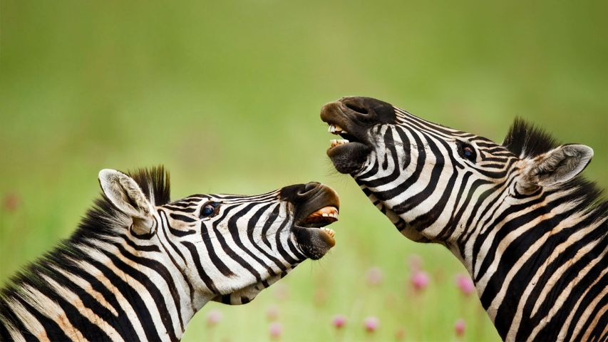 Steppenzebra, Rietvlei Nature Reserve, Südafrika