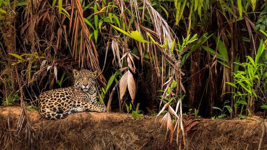 Jaguar im Pantanal, Brasilien