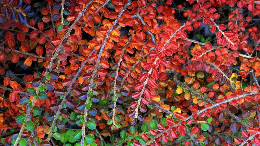 Herbstlich verfärbte Zwergmispeln