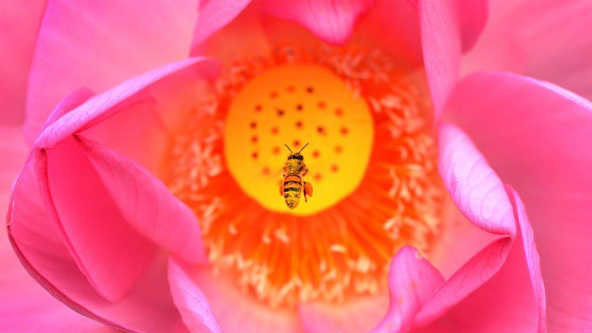 Eine Biene im Anflug auf die Blüte einer Indischen Lotosblume, Kenilworth Park and Aquatic Gardens in Washington, DC, USA