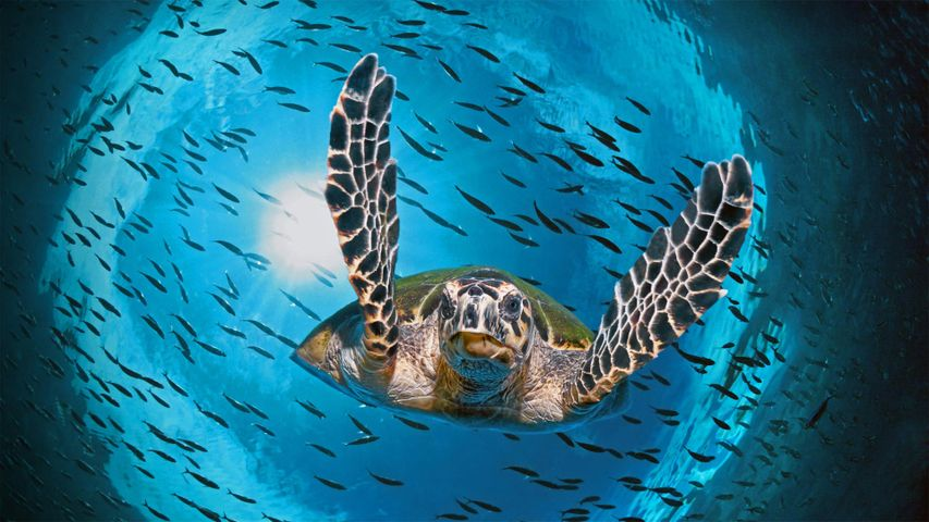 Grüne Meeresschildkröte, Great Barrier Reef, Queensland, Australien